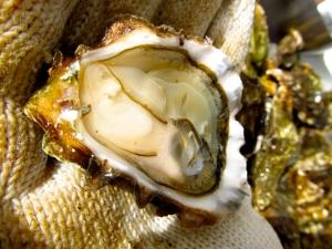 Fresh Miyagi Oyster