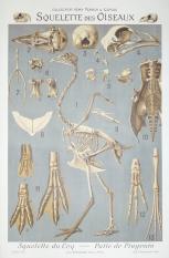 Squelette Des Oiseaux Original Stone Lithograph French